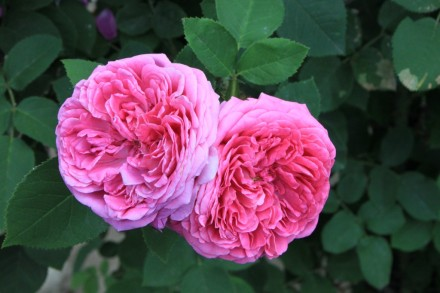 Damask-Rose_Rosa-damascena__16118-1024x682